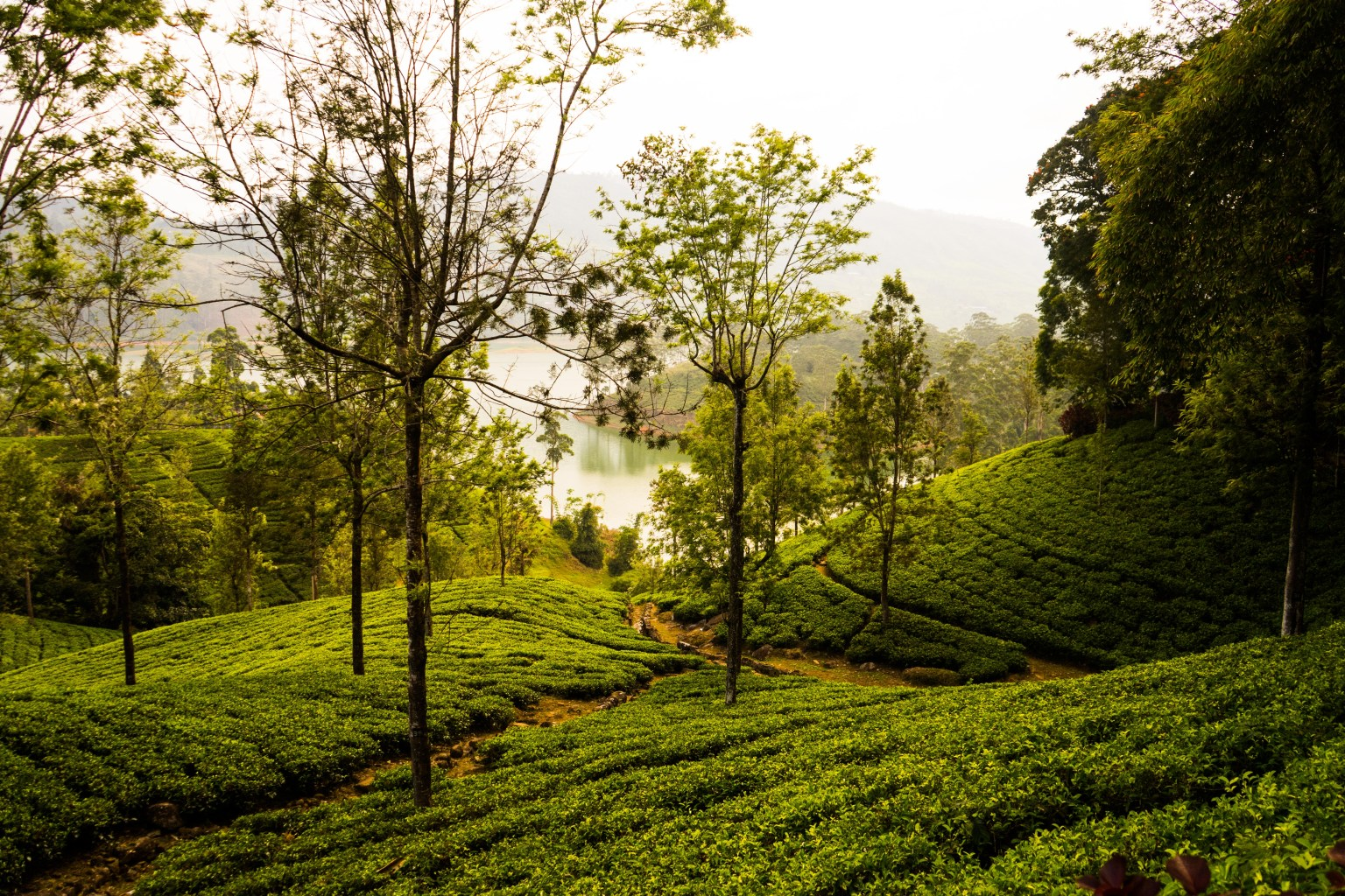 Green tea fields typical for Sri Lanka Nuwara Eliya Region