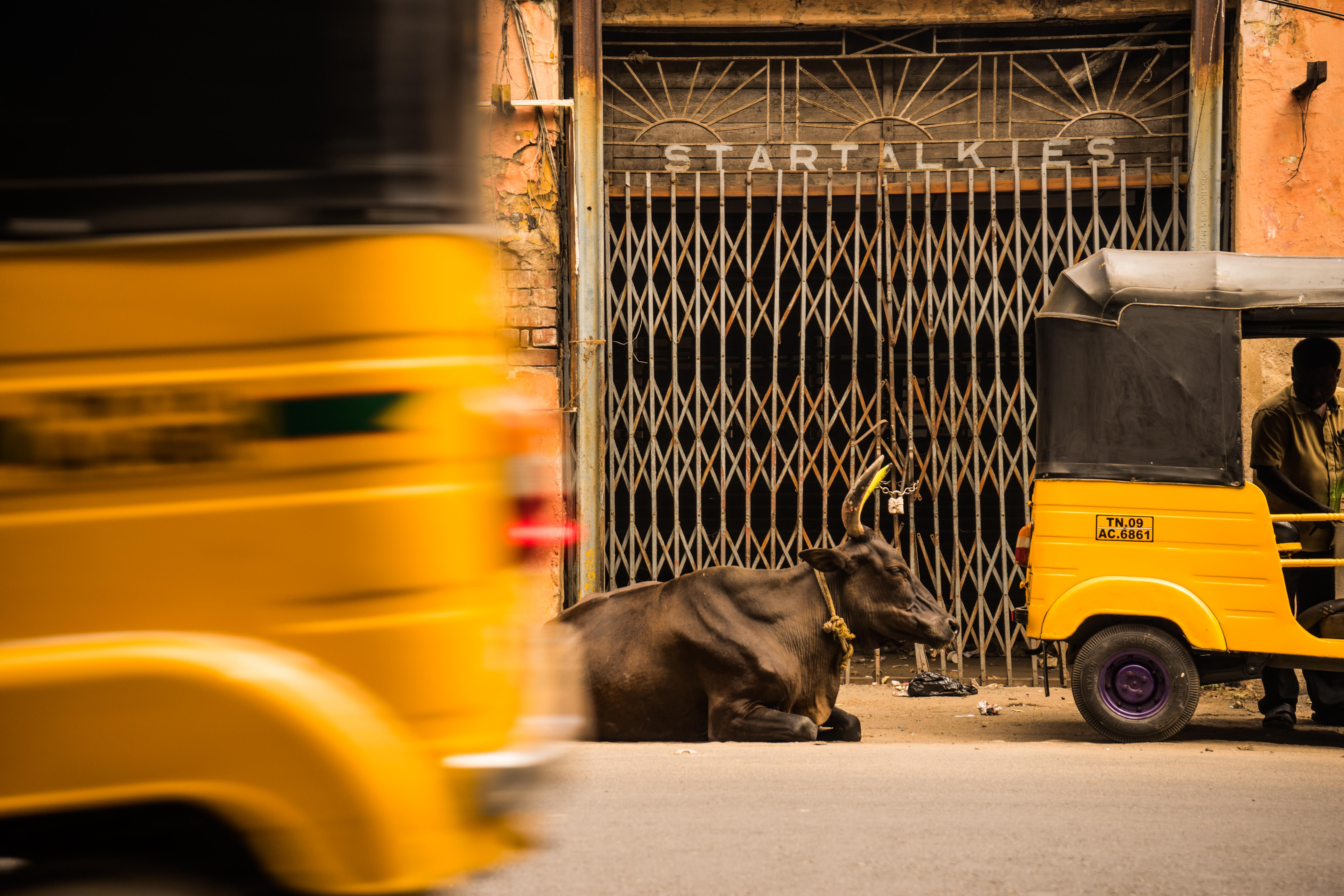 A cow sitting on the street in between two yellow rickshaws