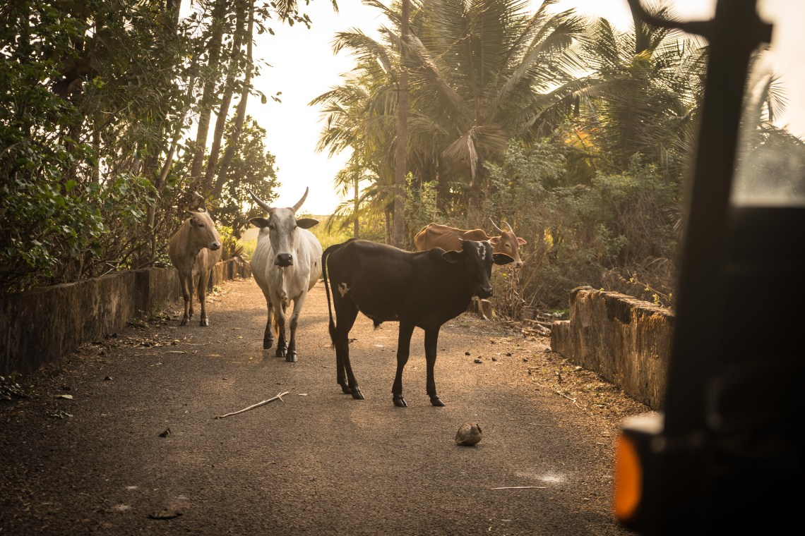 A group of cows blocking the way to the beach. Something that can only happen in India.