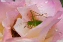 Bain de rosée