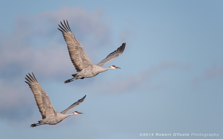 Crane pair in morning light. Sigma 150-600 Sports lens and Nikon D810, 1/1250 s, f/7.1, 600mm ISO 200, EV - .3, Manual mode with Auto-ISO, Jobu MK3 gimbal head and Jobu Algonquin Carbon Tripod.