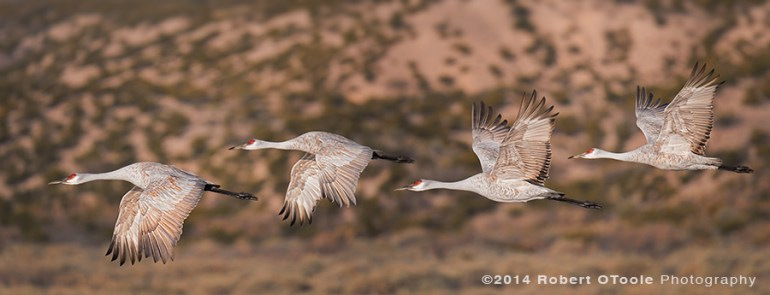 Two crane pairs synchronized in flight. Sigma 150-600 Sports lens and Nikon D810, 1/1600 s, f/6.3, 600mm ISO 560, EV - .3, Manual mode with Auto-ISO, Jobu MK3 gimbal head and Jobu Algonquin Carbon Tripod.
