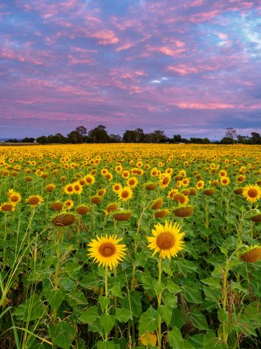 Photo of the Day: Sunflower Days