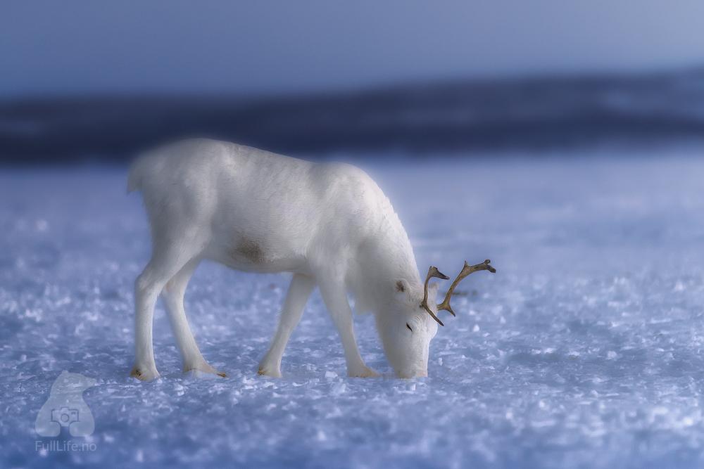 A Young Reindeer by Karim Sahai