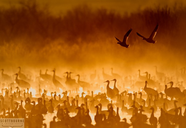 Cranes In The Fire Mist Photo Copyright Scott Bourne