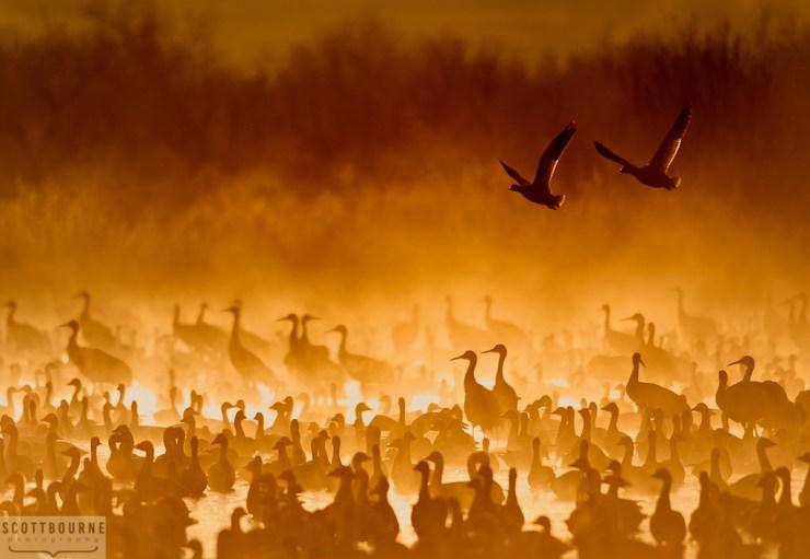 Cranes In The Fire Mist Photo Copyright Scott Bourne