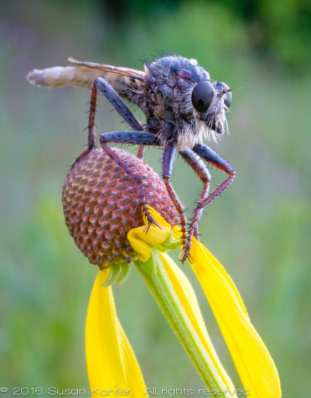 Robber Fly on Yellow Flower