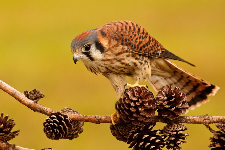© Jason Hahn, HahnNaturePhotography.com. Putting it all together, this American Kestrel image was made at a raptor rehabilitation center for injured and orphaned birds. The tree stand and PVC pipe were used as a base for the perch, which was held in place through the pipe using the hand clamp. This beautiful little Kestrel loved her perch, the pine cones in particular were her new favorite toy!