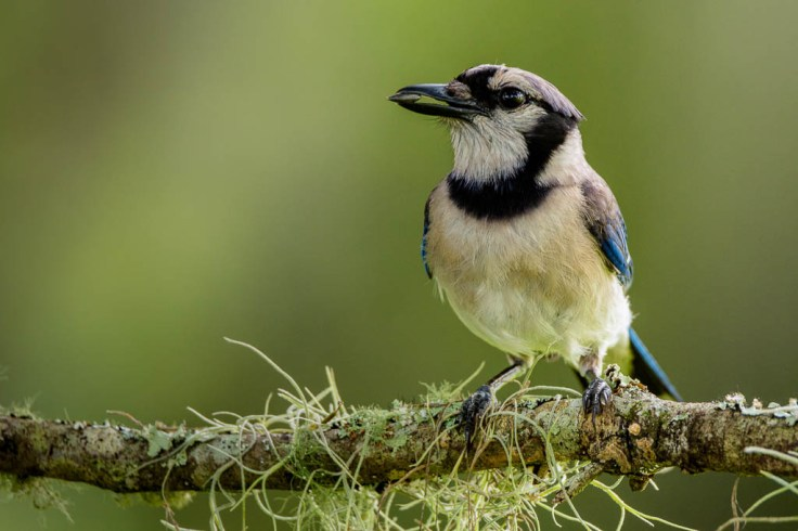 © Jason Hahn, HahnNaturePhotography.com. Blue Jay eating a seed on one of my backyard perches. When selecting perches try to always look for sticks and things that have fallen naturally, there are no shortage of these laying around in the woods by my house. I do selectively pick flowers or take cuttings out of my gardens as I grow many plants specifically to attract wildlife and use as perches. But when it comes to things in the wild, I never cut down living plants.