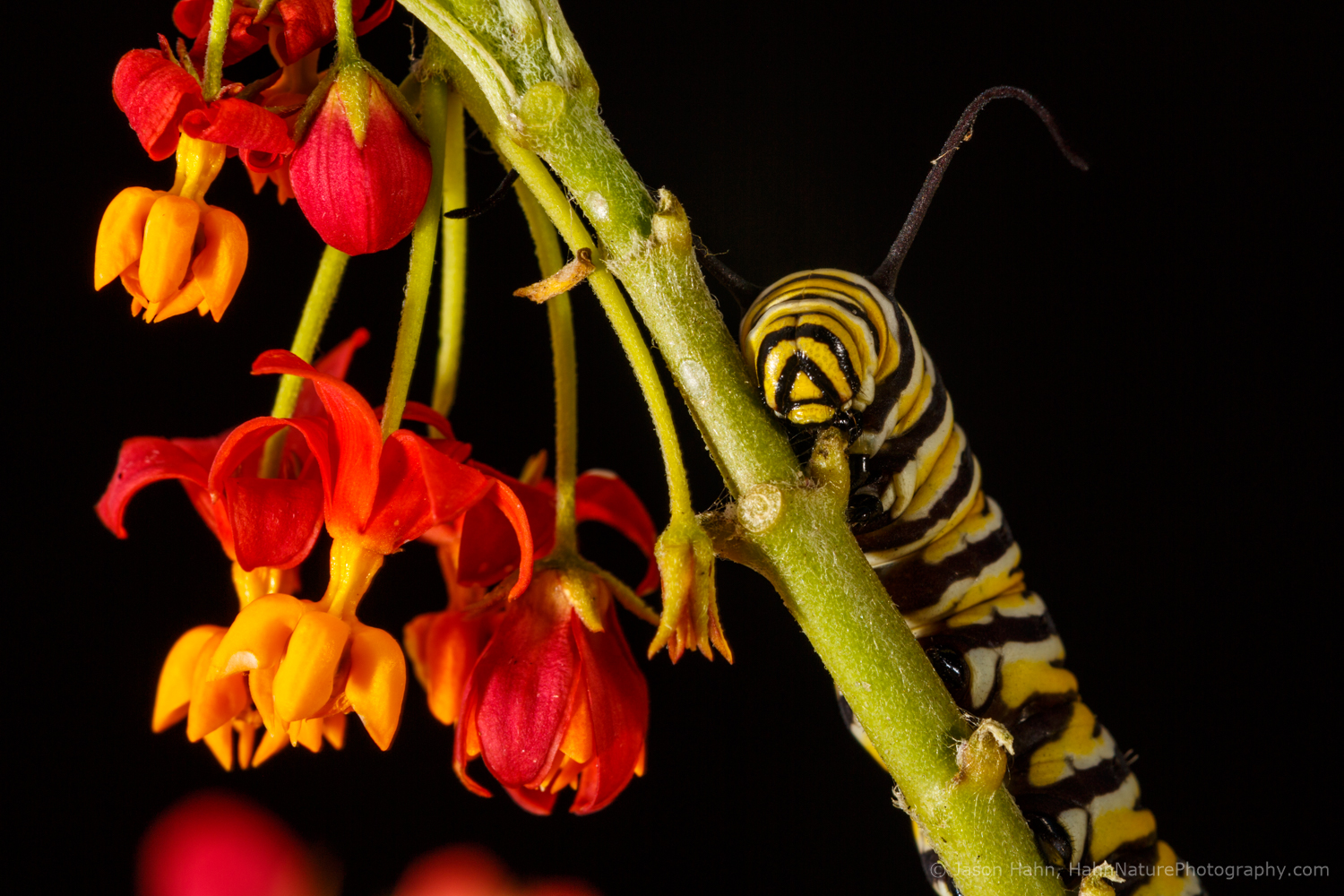 Monarch Caterpillar on Milkweed