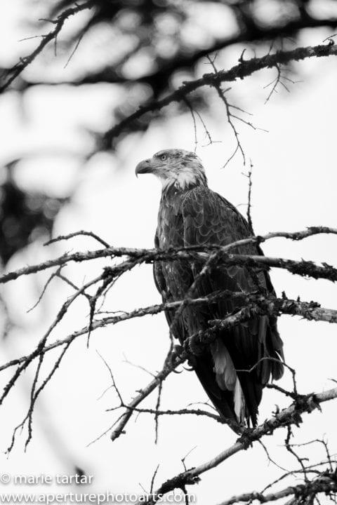 Juvenile bald eagle Grand Teton © Marie Tartar 2017
