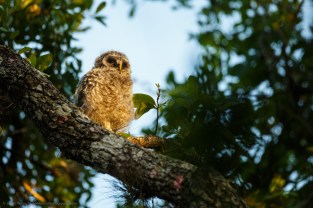 jhahn-lowres-barred-owl-chick-_G0C3901