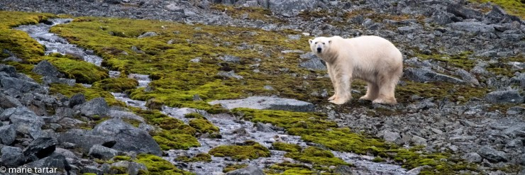 Polar bear on Arctic tundra in Svalbard, Arctic Circle, north of Norway
