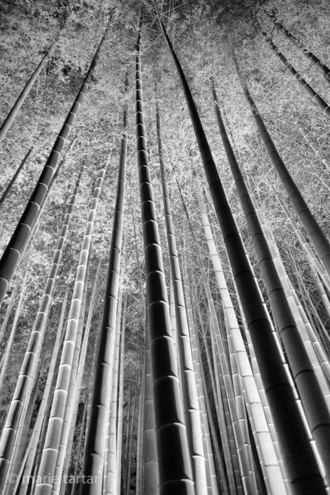 Kyoto bamboo forest lit up at night.