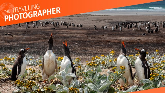 Gentoo penguins recognize each other by their distinctive calls on a beach in the Falkland Islands.