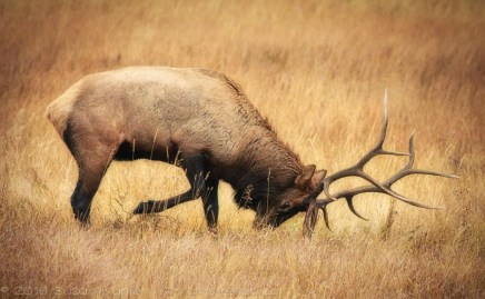 Elk, Rocky Mountain National Park