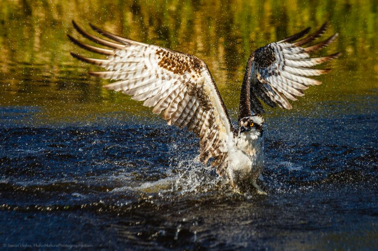 An Osprey rising up from a dive heading back in the sky.