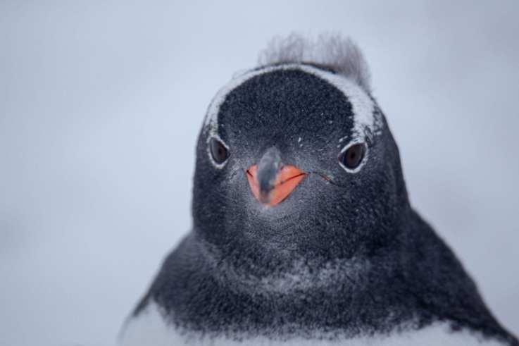 Gentoo Penguin Antarctic Peninsula