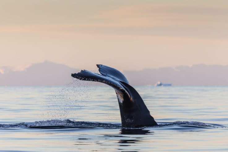 Humpback Whale Fluke Antarctic Peninsula