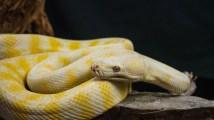 Julie Powell_Albino Python-3