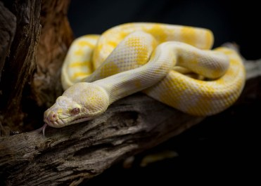 Julie Powell_Albino Python