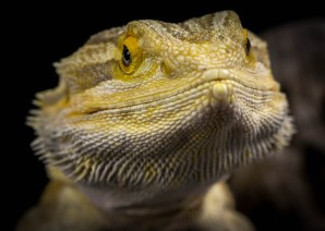 Julie Powell_Bearded Dragon-2
