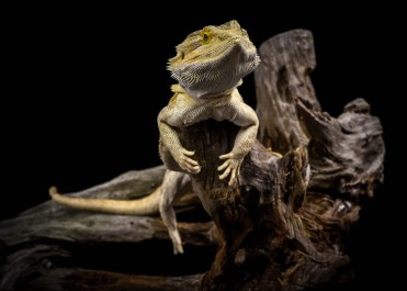 Julie Powell_Bearded Dragon