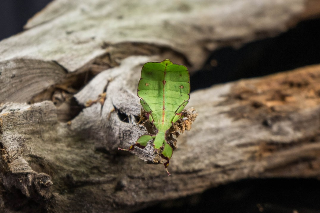 Julie Powell_Leaf Insect