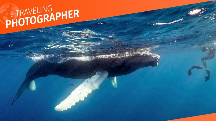 Curious humpback whale calf dwarfs a snorkeler in the warm waters of Silver Bank, a marine mammal sactuary and humpback whale nursery.