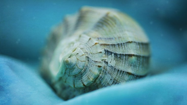macro seashell