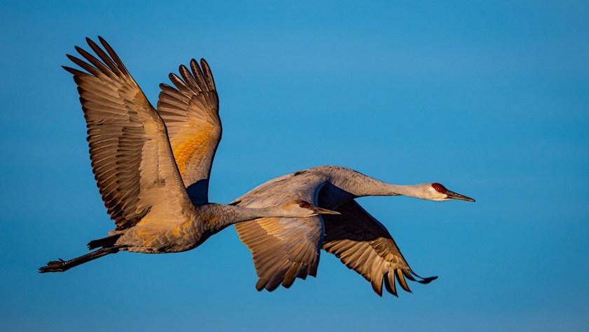 snadhill cranes bird photo