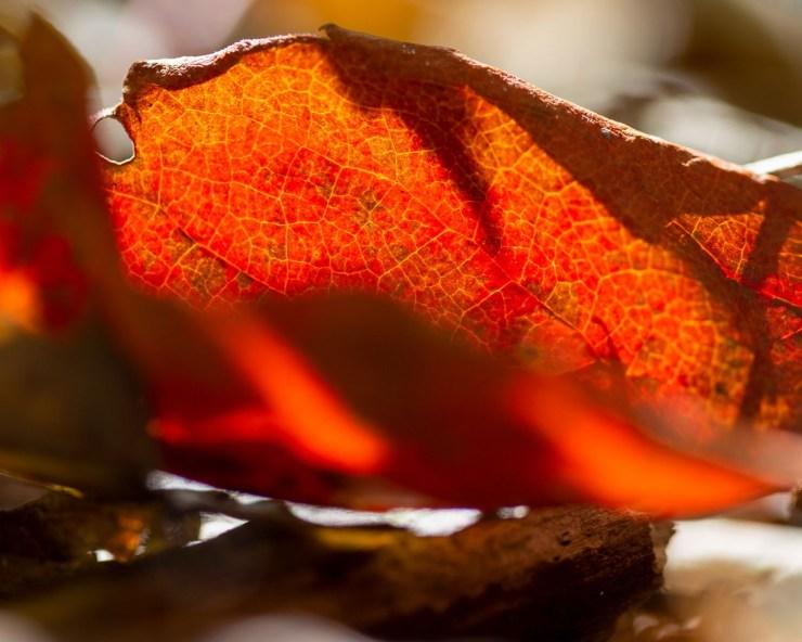red fall leaf macro photo