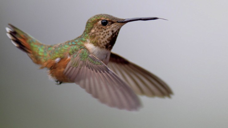 A fast shutter speed would have completely stopped the hummingbird's wings in flight.