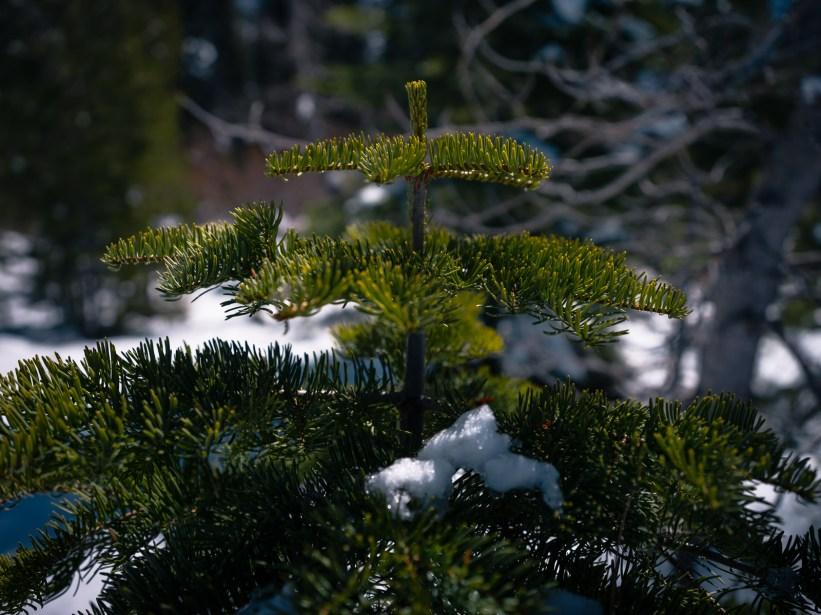groenblijvende boom