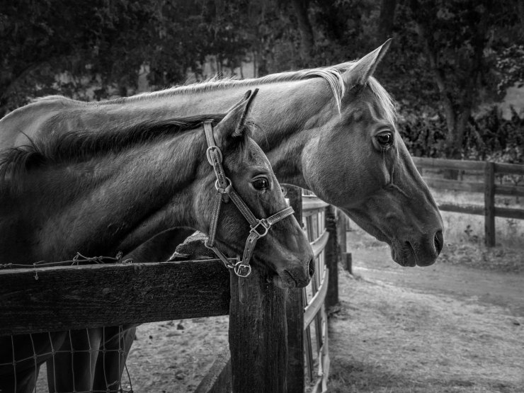 black and white image conversion horses