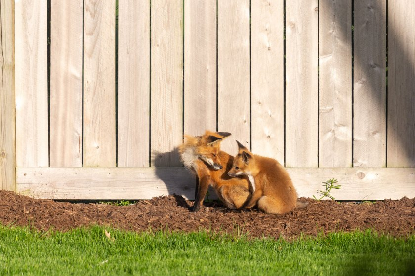 moma fox and baby