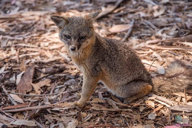 The rare island fox, not found anywhere else. This fox (Urocyon littoralis santacruzae) is a subspecies only found on Santa Cruz Island.