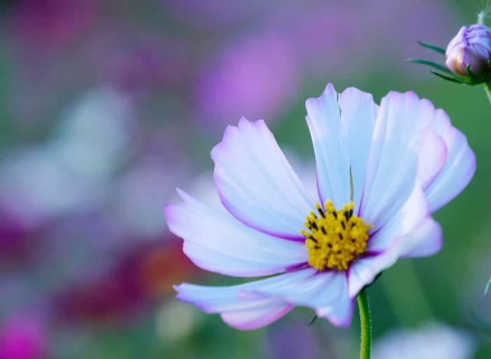 花壇の中のコスモス