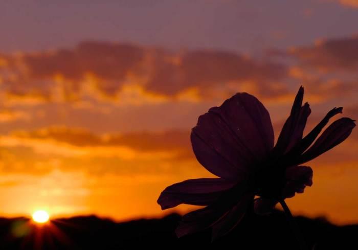 夕日とコスモス02
