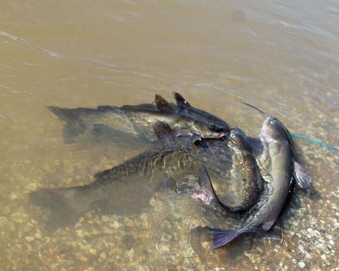 This image has an empty alt attribute; its file name is 5-catfish.jpg