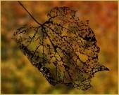 Skeleton Leaf by Marcia Nye
