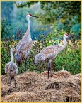 Posing Sandhill Cranes by Don Plocher