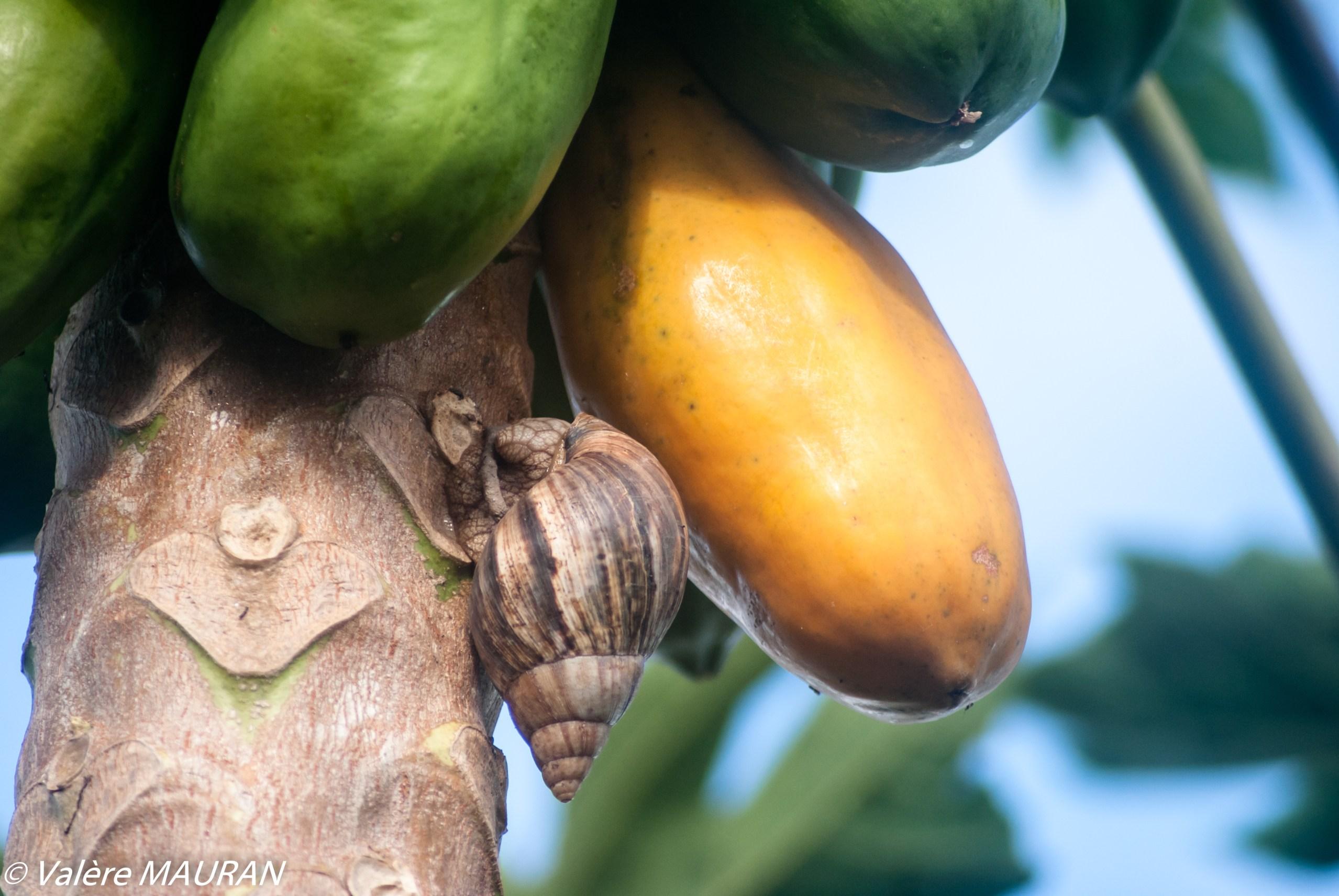 Une papaye en danger