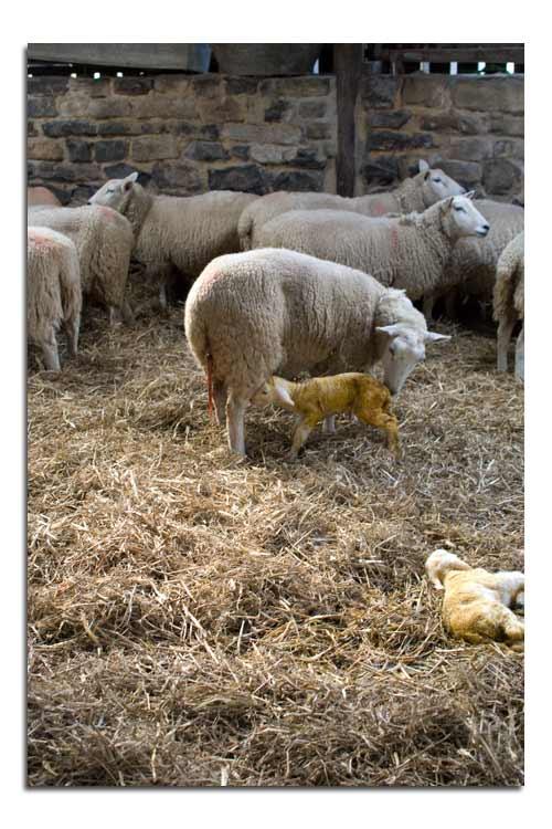 lamb_suckling1