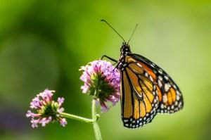 Monarch at Cox - Dayton Photographer Alex Sablan