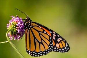 Monarch - Dayton Photographer Alex Sablan