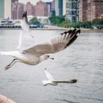 Roosevelt Island Gulls