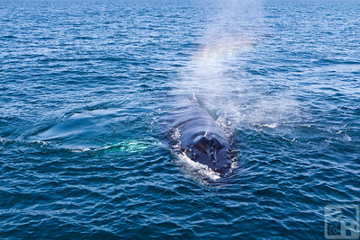 A humpback whale says hello in rainbow language