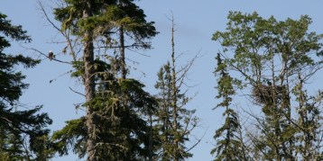 Bald Eagle (Left) and Nest with Babies (Right)