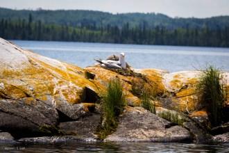Seagull Nesting